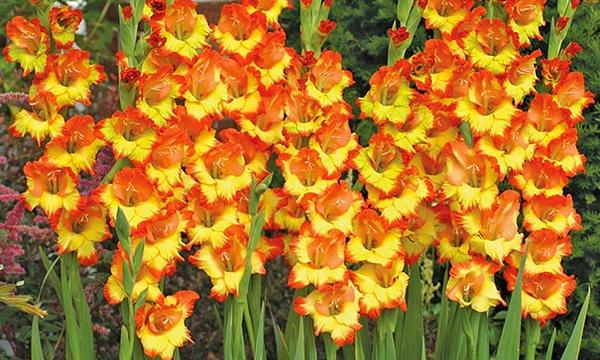 Gladiolus o'stirish haqida ma'lumotlar