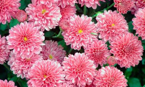 Xrizantema o'stirish